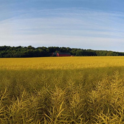 Arild-rapeseed-field