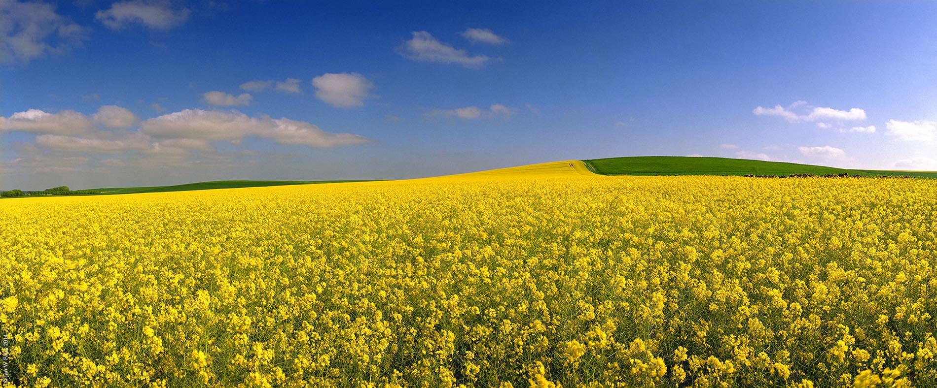 Rapeseed Field, Avebury